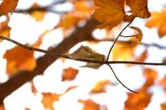 Dinheiro da queda que adere-se de um ramo de árvore com folhas de bordo alaranjadas imagem de stock