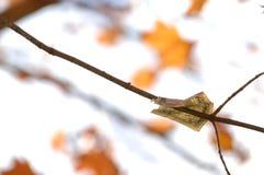 Dinheiro da queda que adere-se de um ramo de árvore com folhas de bordo alaranjadas foto de stock