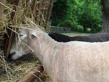 Dining Sheep Royalty Free Stock Photo
