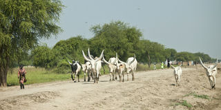 Dinka herder and cattle, Sudan Stock Photos
