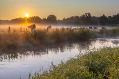 Dinkel krowy i rzeka Fotografia Royalty Free