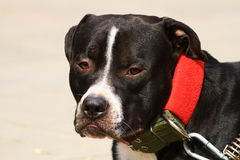 Dinky собака Стоковые Фото