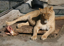Dinner. Big lioness is having dinner Stock Image
