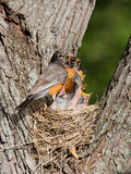 Dinner arrives for baby robins. Baby robins scream for food as father arrives with a meal of earthworms Stock Images