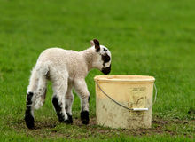 Dinner In A Bucket. A black and white lamb eating food from a plastic bucket in a field stock photo