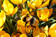 Dinner of bumble-bee. In a sunny spring day an enormous bumble-bee has dinner in crocuses Stock Photos