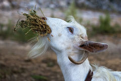 Dinner for goat Royalty Free Stock Photography