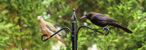 Dinner? Grackle. Large Grackle perched on top of a bird feeder checking out a Mourning Dove Stock Photography
