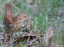 Dinner for one- Brown Thrasher. Single Brown Thrasher on the ground eating grass Royalty Free Stock Photo