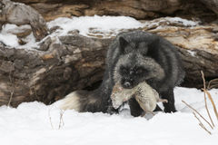 Dinner is served. Silver Fox with prey in mouth in wintertime Stock Photos