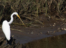 Dinner Time!. A Great White Heron eyeing some fiddler crabs Royalty Free Stock Photo