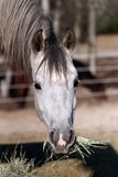 Dinner Time. Horse in pasture eating with mouth full of hay Stock Image