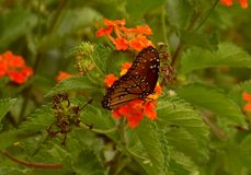 Dinner time. A photo of a butterfly taken in Texas. Hill County Southern Texas Stock Photos