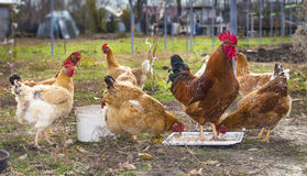 Dinner time for chickens Royalty Free Stock Images