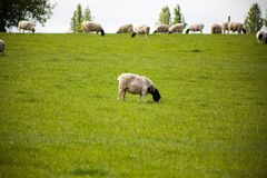 Dinner time for a lonely sheep in the field. One shoddy looking sheep eating grass by himself while the flock eats on top of the hill Stock Image