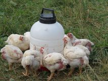 Dinner time for organic chickens. Organic Feeder chickens getting fatten up for the dinner table Stock Images