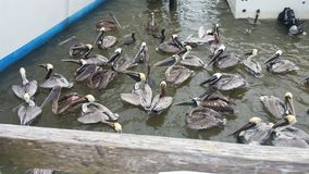 Dinner time. Pelicans wanting for fish Royalty Free Stock Photos