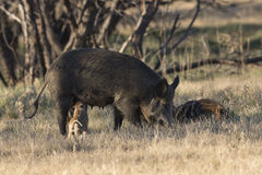 Dinner time for piglet. Piglet getting mild from mother sow Stock Image