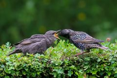Dinner Time Starling fledgling being fed. Dinner Time stock photos