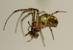 Dinner times. A nice coloured European garden spider with his dinner Stock Photography
