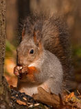 Dinnertime in the autumn forest Royalty Free Stock Photography