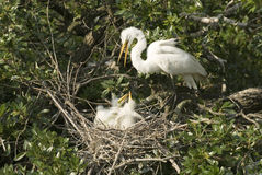 Dinnertime II. Great Egret preparing to feed chicks stock image