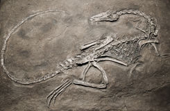 Dino fossil. Fossilized dinosaur bones imprinted on stone Royalty Free Stock Photography