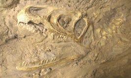 Dino skeleton in stone Royalty Free Stock Images