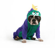 Dinosaur. A boston terrier in a dinosaur costume Stock Images