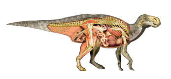 Dinosaur anatomy Iguanodon total cutaway, showing all internal organs. Royalty Free Stock Photography