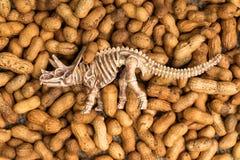 Dinosaur bone on groundnut Royalty Free Stock Image