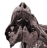 Dinosaur bones. T-rex facial bone structure stock photos