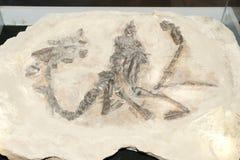 Dinosaur Bones - Argentina. Dinosaur Bones Fossil in Argentina Royalty Free Stock Photography