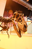 Dinosaur bones Royalty Free Stock Photography