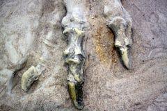 Dinosaur Bones Royalty Free Stock Image