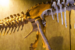 Dinosaur bones, educational exposure Royalty Free Stock Photos