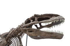 The Dinosaur Bones. Isolate on white Royalty Free Stock Photo
