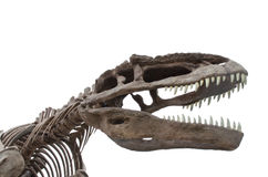 The Dinosaur Bones. Isolate on white Stock Image