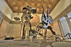 Dinosaur bones. Tyrannosaurus and Triceratops bones on display stock photography