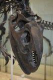 Dinosaur czaszka Obraz Royalty Free