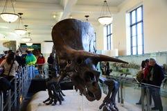 Dinosaur Dino skeleton in New York NYC American Museum of Natural History Stock Image