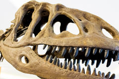 Dinosaur. Dinosaur belong to the diapsid reptile group. Royalty Free Stock Photos