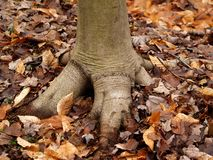 Dinosaur foot. Tree stump resembling a dinosaur foot royalty free stock photo