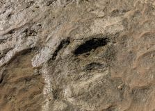 Dinosaur footprint in the rock Stock Images