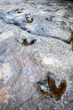 Dinosaur footprints Stock Image