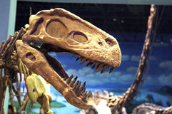 Dinosaur fossil Royalty Free Stock Photography