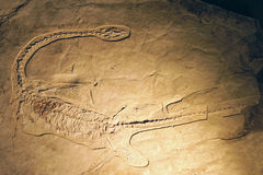 Dinosaur fossil. The close-up of dinosaur fossil royalty free stock photography