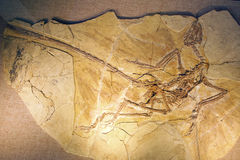 Dinosaur fossil Royalty Free Stock Photography