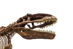 Dinosaur fossil. Close up shot Dinosaur fossil on isolate background Royalty Free Stock Photos