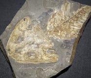 Dinosaur fossil Stock Photography